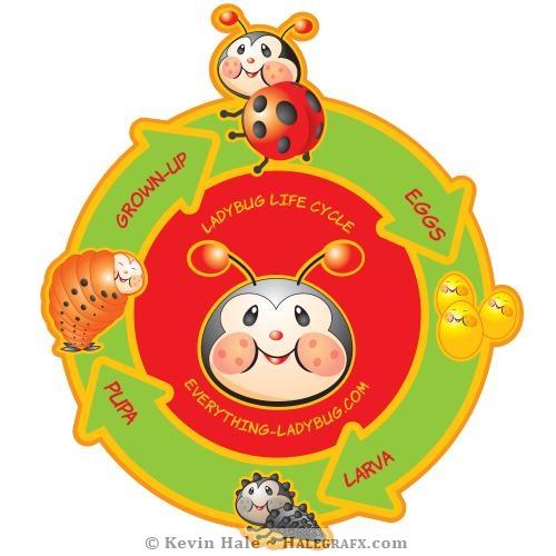 Libby the ladybug - ladybug life cycle diagram